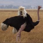 ostrichnews