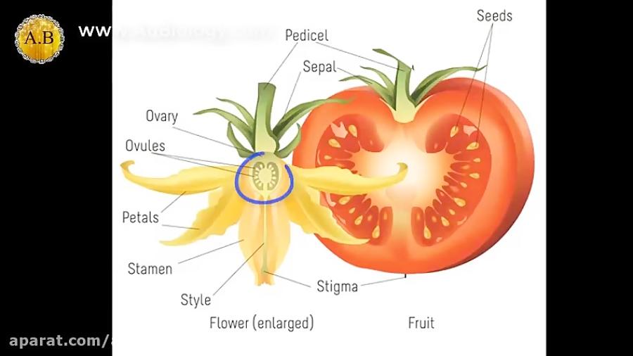 کدام-بخش-گل-به-میوه-تبدیل-می-شود-تدریس