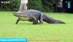 تجاوز جنسی یک مرد به تمساح در آمریکا