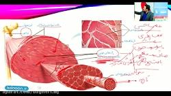 فیلم آموزشی فصل سوم زیست یازدهم - انواع و ساختار ماهیچه
