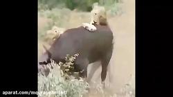 حمله بوفالوها به شیرها...