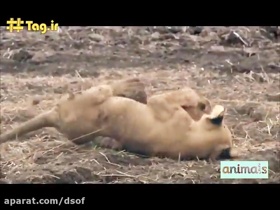 دعوای دو شیر ماده بر سر شکار