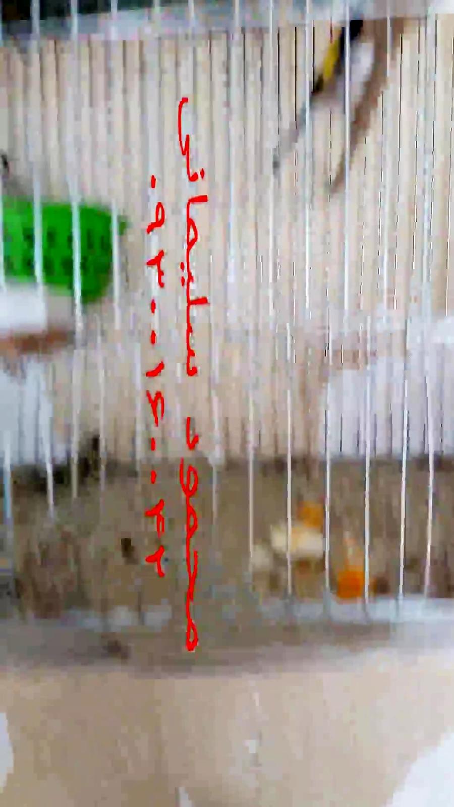 9354e5196 فیلم: تکثیر سهره در قفس / ویدیو کلیپ | پرشین ناز