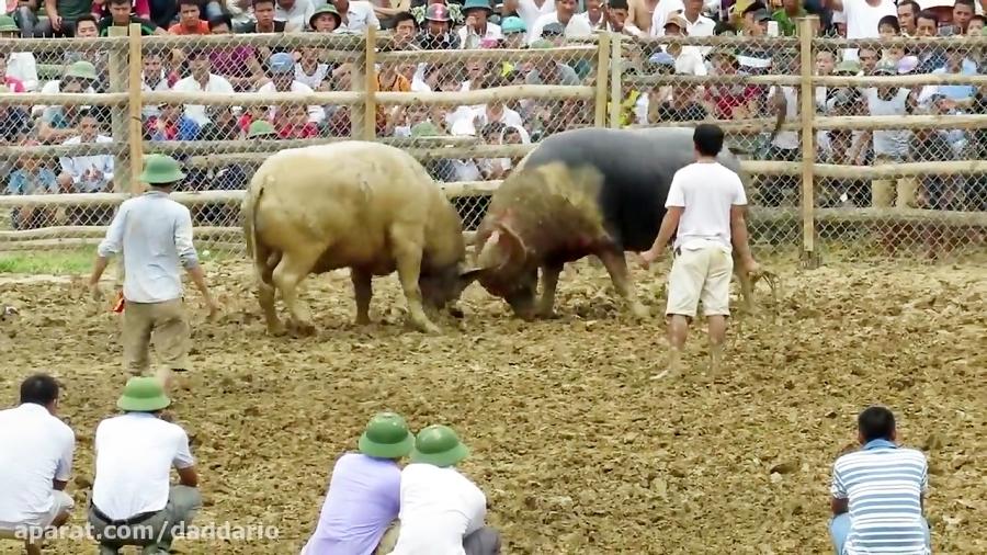 نبرد بی رحمانه و خونین دو گاو وحشی