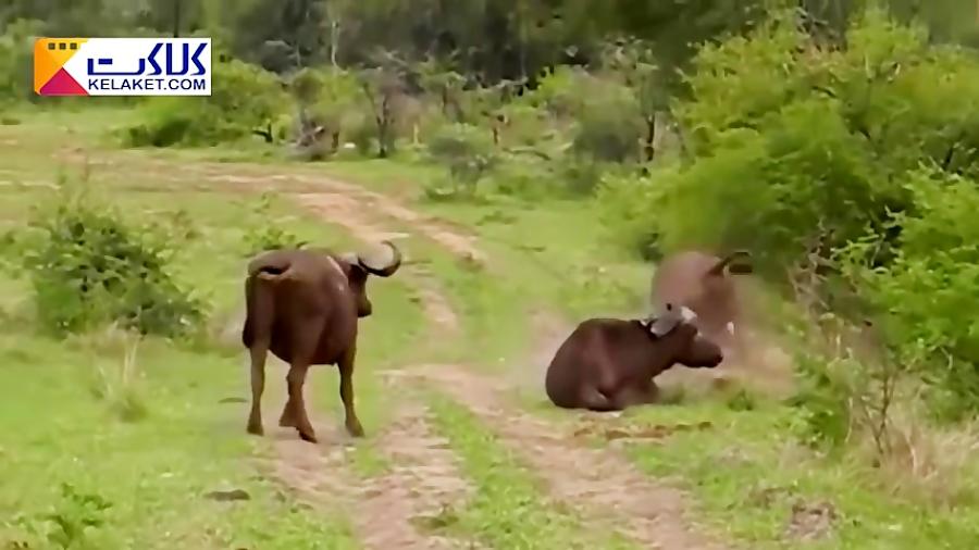 نبرد شجاعانه بوفالو با شیرها برای نجات گله