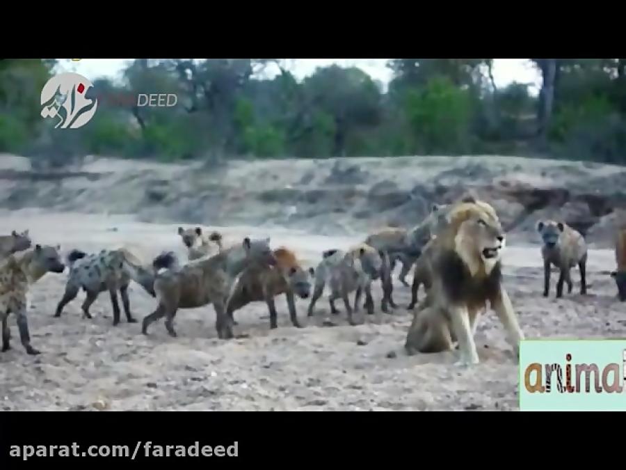 نبرد کفتارها با شیر برای دزدیدن شکار