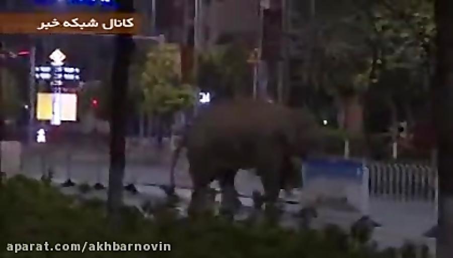 فیل گمشده و سرگردان در خیابان های چین