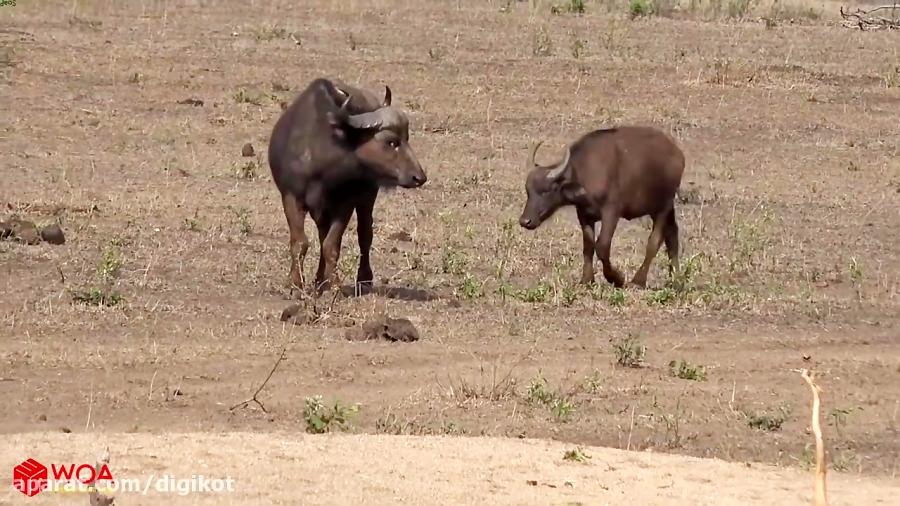 حمله چیتا به گاومیش