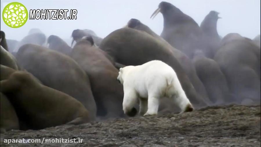 شکار گراز دریایی توسط خرس قطبی