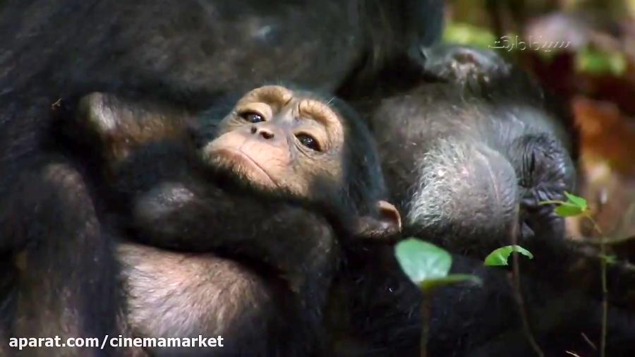 شامپانزه اثری شاد و زیبا از کمپانی دیزنی نیچر