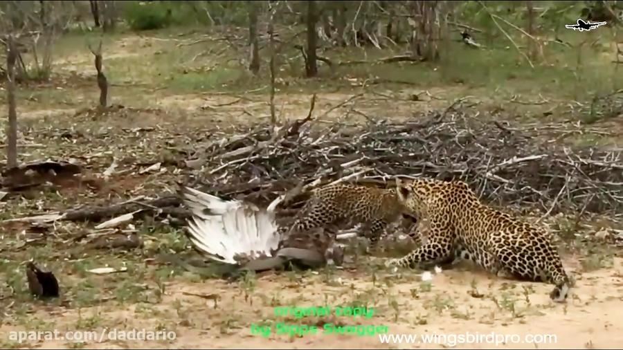 شکار عقاب توسط مار و حمله پلنگ به مار گیرافتاده
