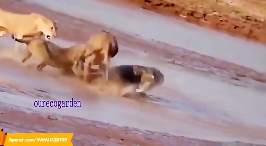 شگفت انگیزترین جنگ و  نبرد حیوانات در حیات وحش