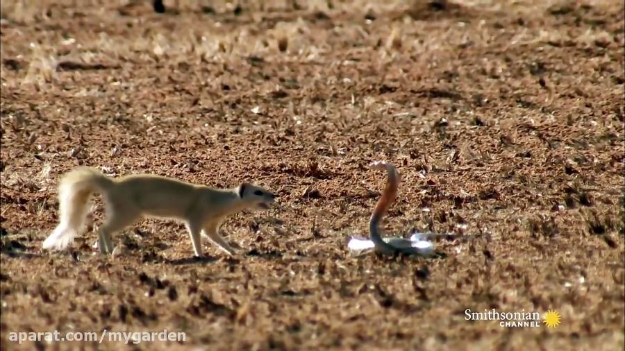تصویر از خدنگ در مقابل مار کبرا