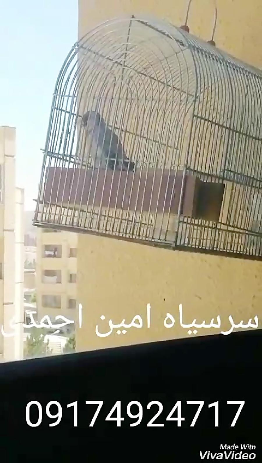80b64ee03 فیلم: سهره طوق دار / ویدیو کلیپ | پرشین ناز