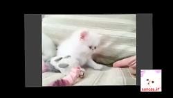 بازی بچه گربه پرشین
