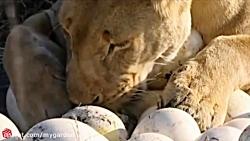 دفاع شترمرغ از تخم ها د...