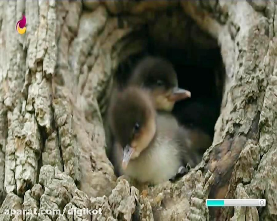 فیلم تماشایی سقوط جوجه اردک ها از ارتفاع 8متری