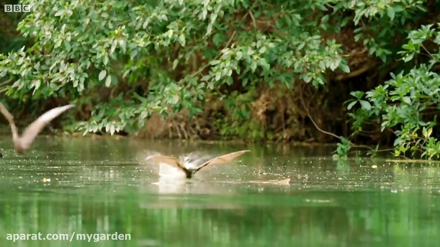 خفاش (روباه پرنده) در مقابل کروکودیل