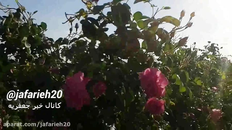 ✅  مزرعه گل محمدی