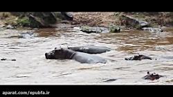 حمله مرگبار اسب های آبی به حیوانات وحشی