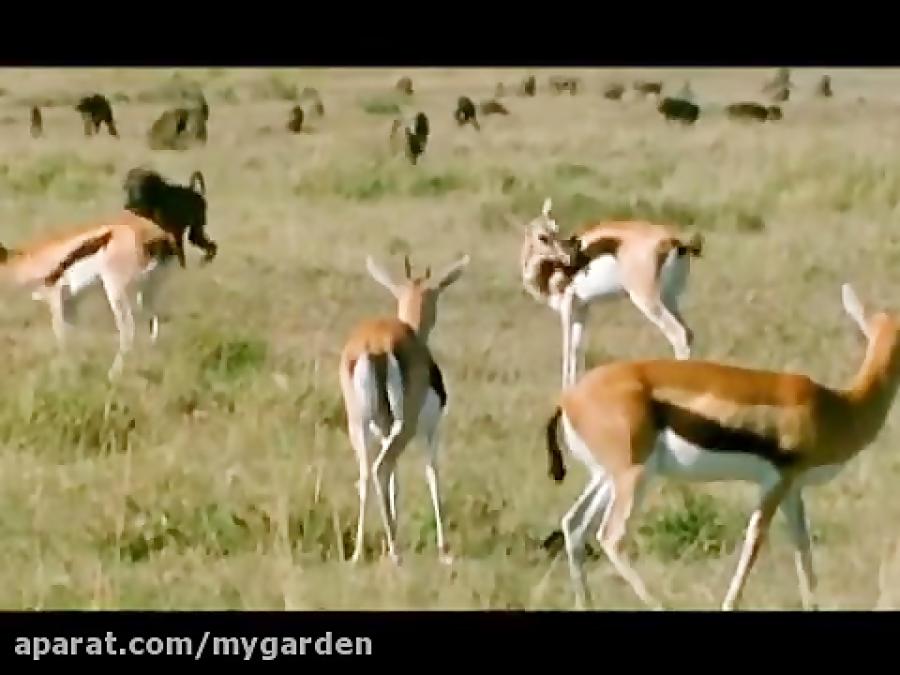 حمله میمون به یوزپلنگ و شکار غزال