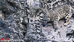 پلنگ برفی در شکار بز کوهی