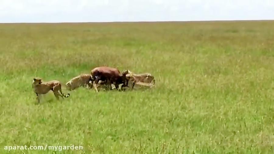2 کفتار به شکار چند یوز حمله میکنند. سرنوشت فوق العاده
