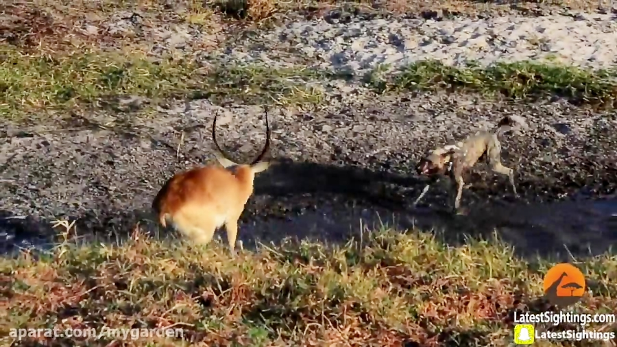 کفتار و دزدی از شکار سگ های وحشی