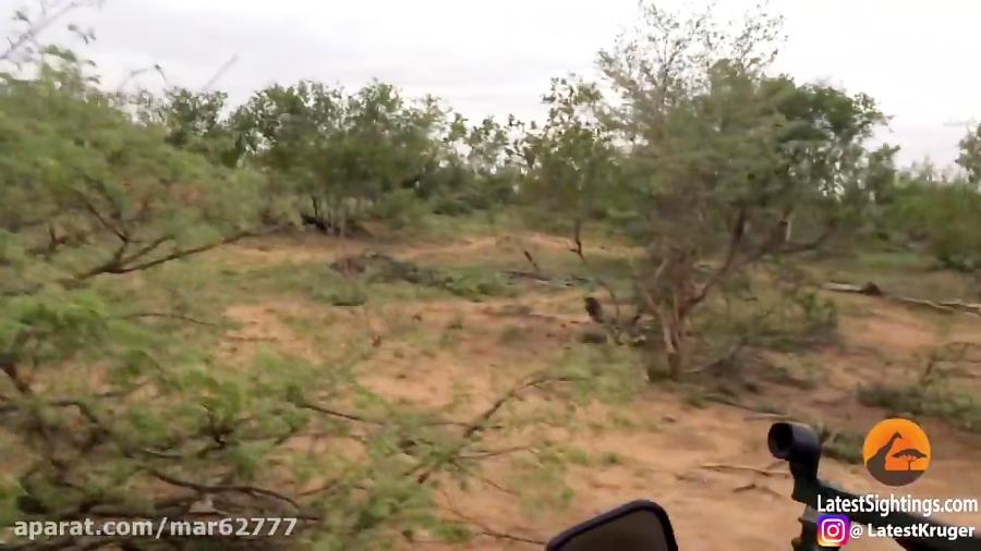کشتن بچه کفتار توسط شیر - حیات وحش آفریقا