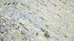 خرس و توله خرس