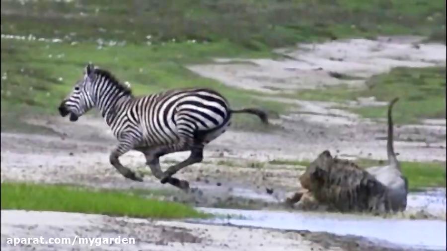 وقتی  لگد گورخر شیر را از کار می  اندازد