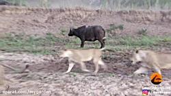 شکار بوفالو توسط شیر و سرنوشت عجیب در انتها
