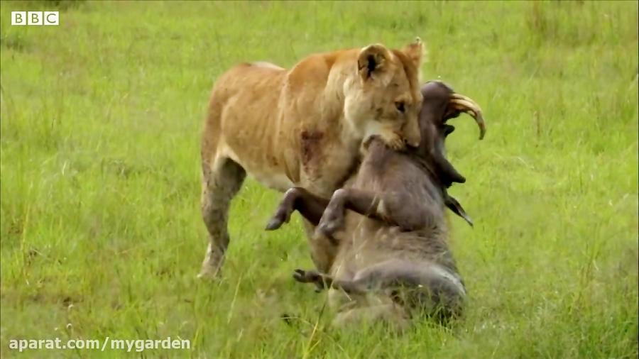 شیر مادر در شکار گراز