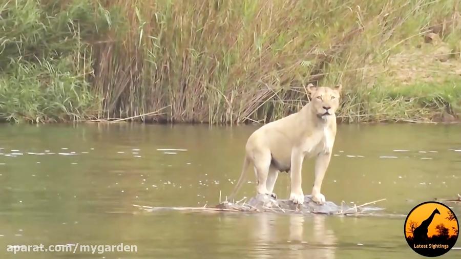 تمساح بچه پلنگ را میدزدد و پلنگ مادر در تلاش برای نجات