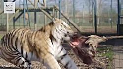 نبرد گربه های بزرگ , شیر...