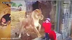 حمله وحشتناک شیرها و حی...