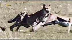 لحظه به لحظه شکار ۲۰ ثانیه ای چیتا را ببینید