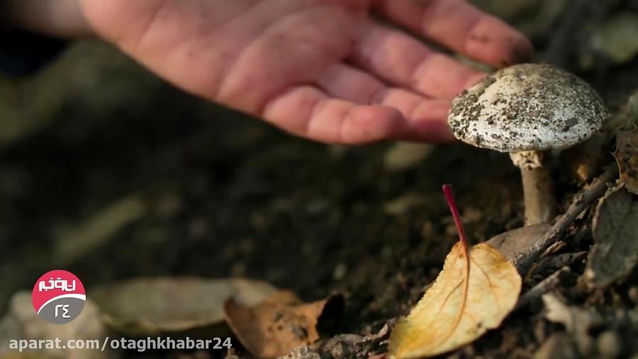 همه چیز درباره قارچ های سمی مرگبار در ایران!
