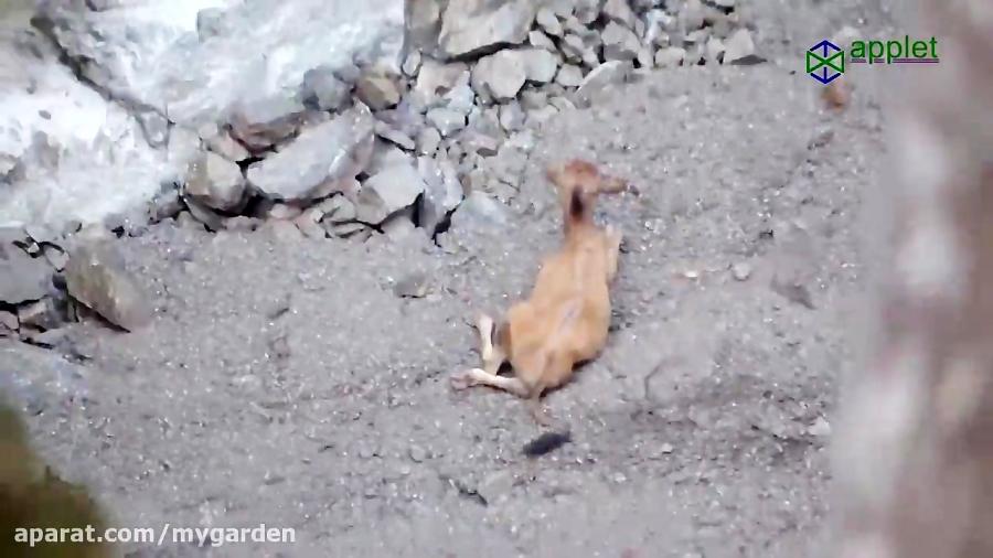 لیز خوردن گاو و سقوط از صخره و در انتها ...