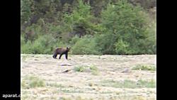 فراری دادن خرس مهاجم توسط خرس مادر شجاع