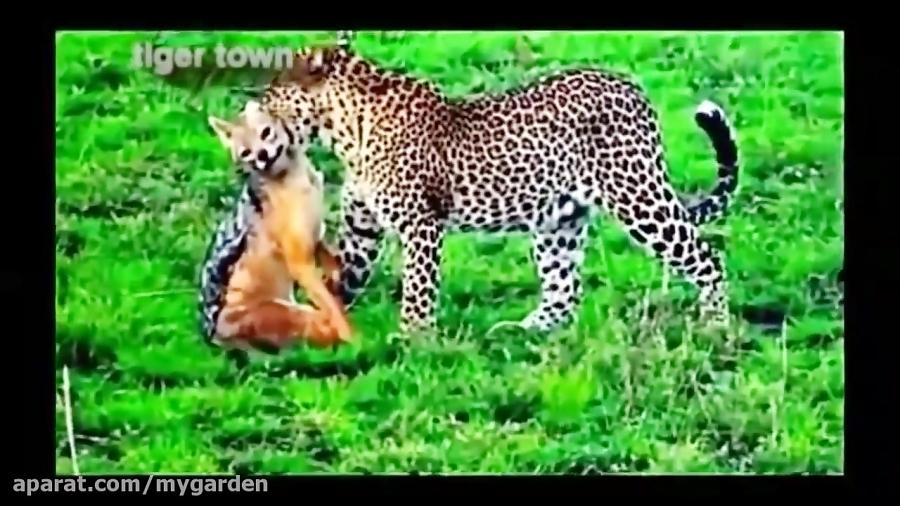 شغال و شکار شدن توسط کفتار، شیر و یوزپلنگ
