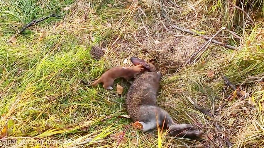 کشتن خرگوش توسط سمور - حیات وحش آلاسکا