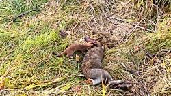 کشتن خرگوش توسط سمور - ح...