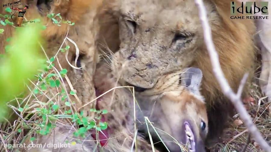 شکار کفتار و خوردن آن توسط شیرها