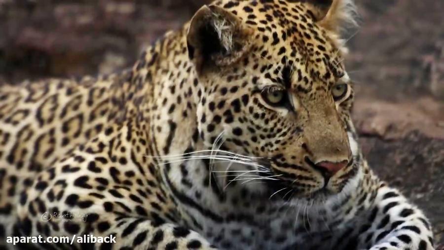 حیات وحش آفریقا با کیفیت 4K ببینید بینظیره