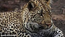 حیات وحش آفریقا با کیفی...