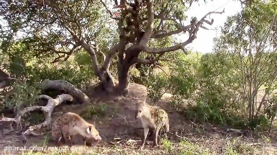 کفتار و دزدیدن شکار پلنگ از روی درخت
