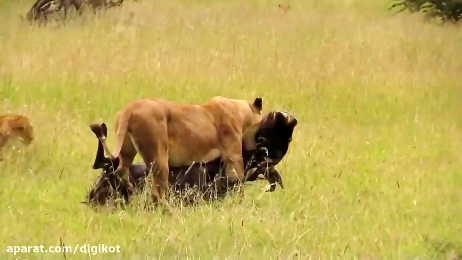 حمله شیرمادر به گوزن یالدار وانتقام سخت بوفالو از شیر