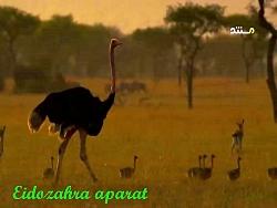 جاسوسی از حیوانات | فیلمی اززندگی زناشویی شترمرغ رازبقا