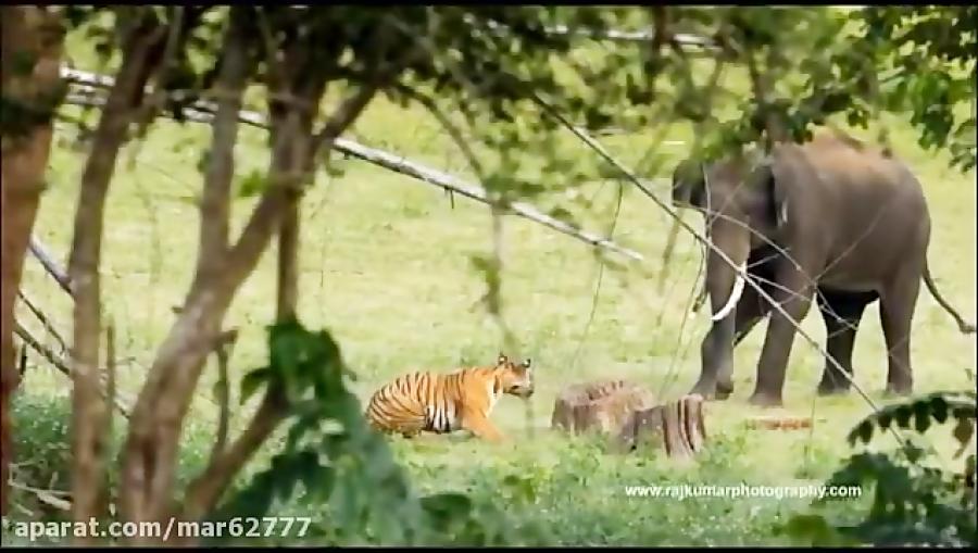 تقابل ببر با فیل - حیات وحش هندوستان